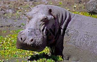 Mürrisches Hippo im South Luangwa Nationalpark, Zambia; angry Hippo at South Luangwa, Zambia