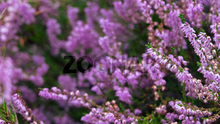 Pink Beauty of Heather
