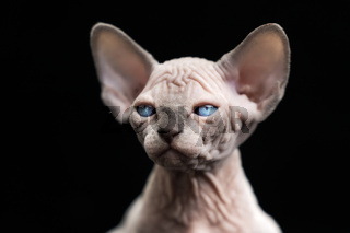 Hairless kitten of Canadian Sphynx Cat breed blue mink with white color on black background