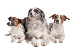 Two Jack Russel Terrier dogs and a Border collie