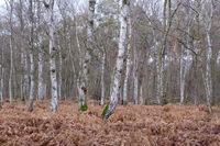Birkenwald im Naturschutzgebiet Beversee