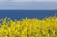 Rapsfeld an der Ostsee bei Boltenhagen in Mecklenburg-Vorpommern