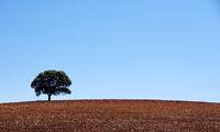 Lonely tree in plowed field