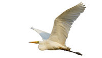 Great egret in flight isolated on white background