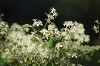 Clematis apiifolia, Sellerieblaettrige Waldrebe, celary-leaved clematis