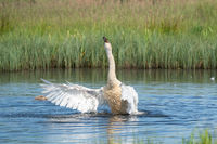 Dancing swan with flapping wings on blue lake water in sunny day. Water splashes fly around. Young swans in the background. Chicks on pond, nature seriesserie