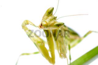 flower praying mantis