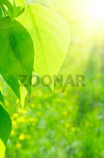 Sun over green poplar leaves