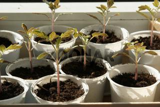 Solanum lycopersicum, Tomaten, tomatoes, Saemlinge