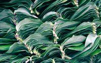 Well-Packed leaves of Ceylon's tea