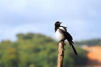 Magpie on pole