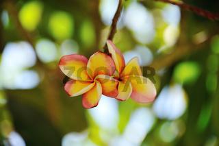 Frangipani Seychellen