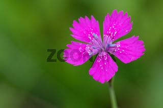 Dianthus Deltoides pink flower close up