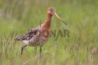 Black-tailed godwit, Limosa limosa, in the grass