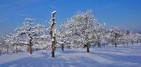 Streuobstwiese im Winter