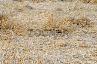 zerstörtes Getreide