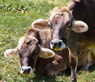 Kühe auf einer Weide auf der Alm