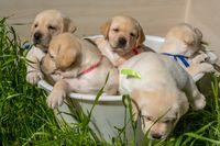 Basket with labrador puppies