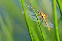 junge Heidelibelle