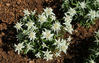 a small bush of edelweiss flower on brown ground