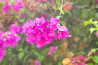Red flowers of bougainvillea