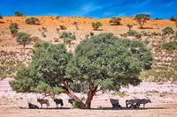 Oryx suchen Schatten vor den roten Dünen des Kgalagadi-Transfrontier-Nationalparks, Südafrika