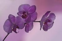 Phalaenopsis in lila