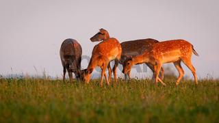 Fallow deer herd grazing on pasture in summer evening sun