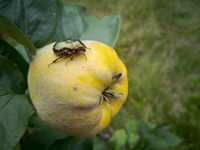 Large green beetle sitting on quince fruit hanging on tree in garden