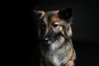 Cute looking dog wolf spitz
