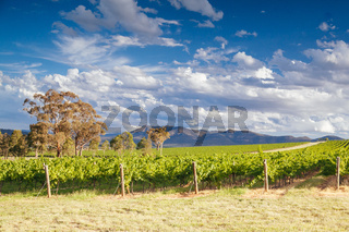 Hunter Valley Vineyard in Australia