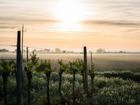 Fog at sunrise at lake Neusiedl near Oggau with vineyard in the foreground