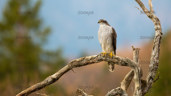 Northern goshawk looking on dry tree with copy space