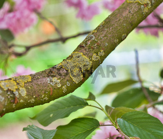 Ast eines Kirschbaums