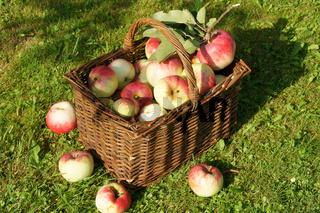 Malus domestica Jakob Fischer, Apfelkorb