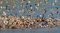 Flock of red-billed queleas (Quelea quelea) drinking water