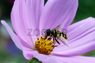 Schwebfliege auf einer lila Cosmea