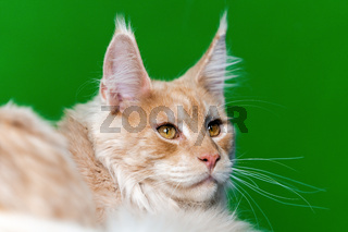 Maine Shag Cat. Portrait of red tabby domestic cat lying on green and light blue background