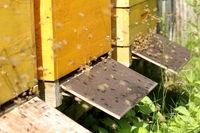 Bienen beim Anflug auf den Stock
