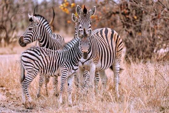 Steppenzebras, Südafrika, Kruger Nationalpark   Zebras, South Africa, Plains Zebra, Equus quagga