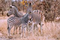 Steppenzebras, Südafrika, Kruger Nationalpark | Zebras, South Africa, Plains Zebra, Equus quagga