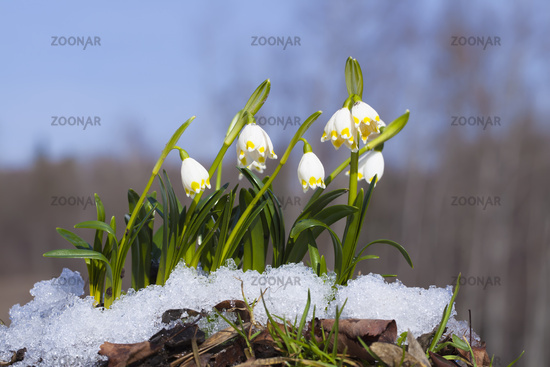 Group of Snowdrops in the snow on the forest back