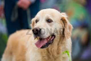 Golden reteiever dog on colorful background