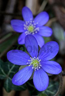 Leberblümchen, Hepatica nobilis, Anemone hepatica, kidneywort, liverleaf, liverwort, pennywort, hepatica