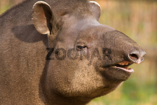 Portrait of south American tapir (Tapirus terrestris)