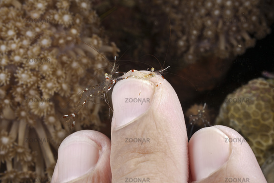 Putzergarnelen reinigen Finger von Taucher