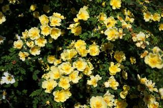 Rosa hugonis, Chinesische Goldrose, Chinese Goldrose