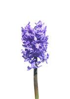 Hyazinthe - Hyacinth on white