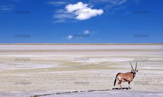 Spießbock am Rande der Etosha-Pfanne, Oryx, Etosha-Nationalpark, Namibia   Oryx at the edge of the Etosha pan, Etosha National Park, Namibia