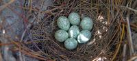 Magpie's nest with clutch